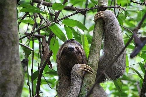 ленивец залазиет на дерево