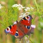 Баттерфляй павлин бабочка