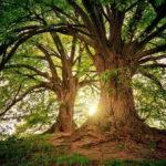 Дерево Вуд