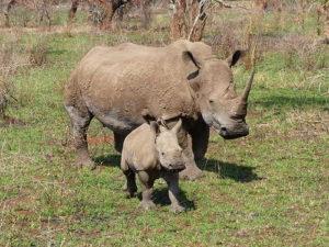 маленький носорог