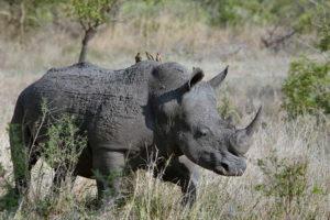 Носорог с воловьими птицами