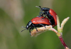Прилепившиеся жуки
