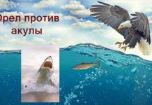 орел и акула