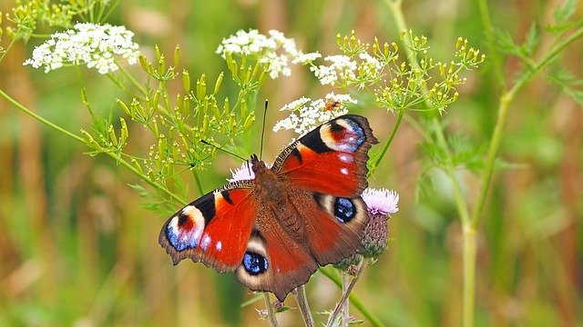 павлин бабочка
