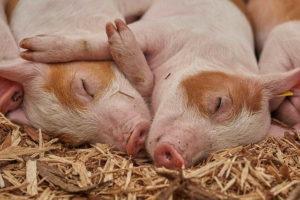 семейная пара свиней
