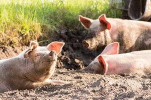 симпатичнея свинья