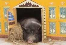 свинья в домике
