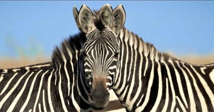 загадка зебры