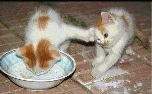 пьют молоко котята