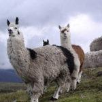эквадорские ламы