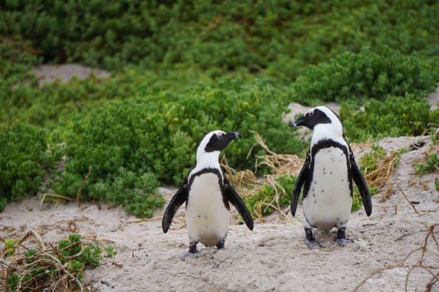 пингвины разговаривают