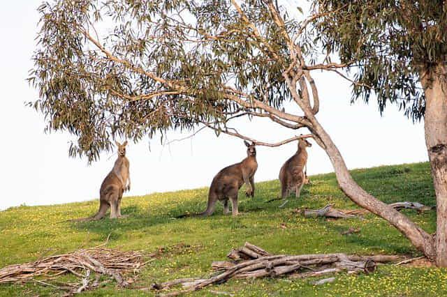три кенгуру