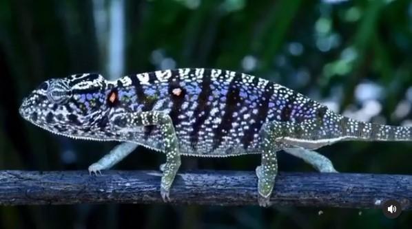 Воельцкова хамелеон