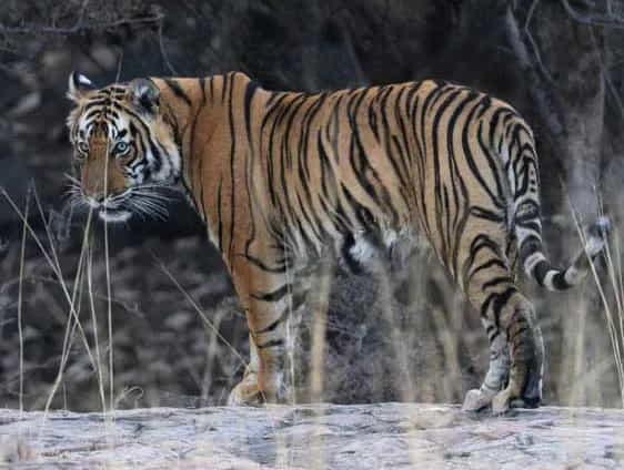 изчезнувшее животное баллийский тигр