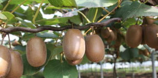 киви фрукт