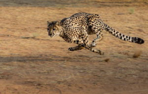 гепард в беге